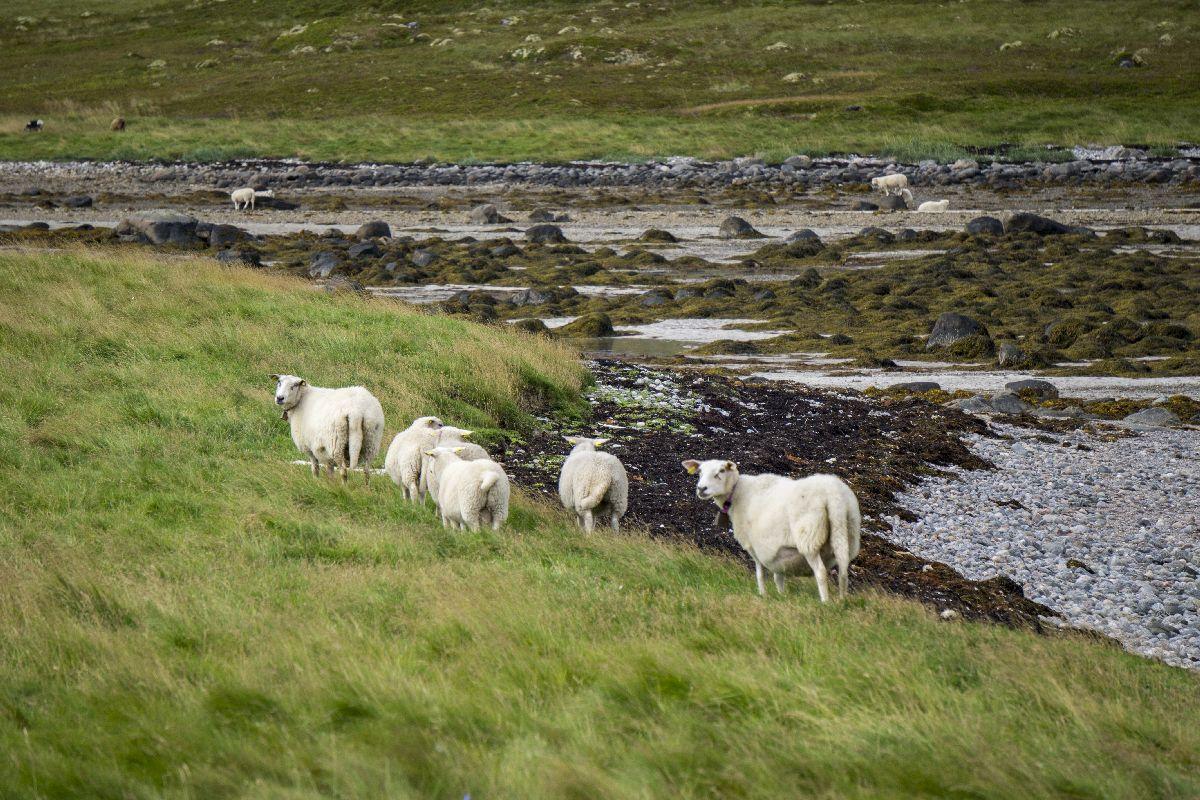 Die Schafe haben solange in die Kamera geschaut, bis das Foto im Kasten war. Dann ging es mit der Futtersuche weiter. Schlaue Tiere.