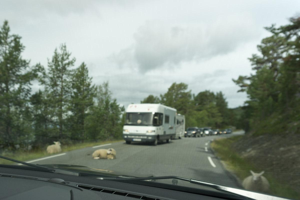 Schaf auf der Straße im Rondane Nationalpark