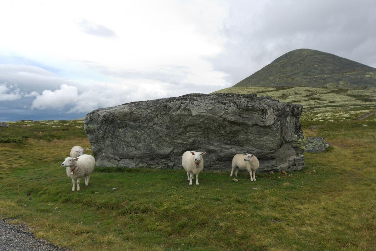 Schafe im Rondane-Nationalpark