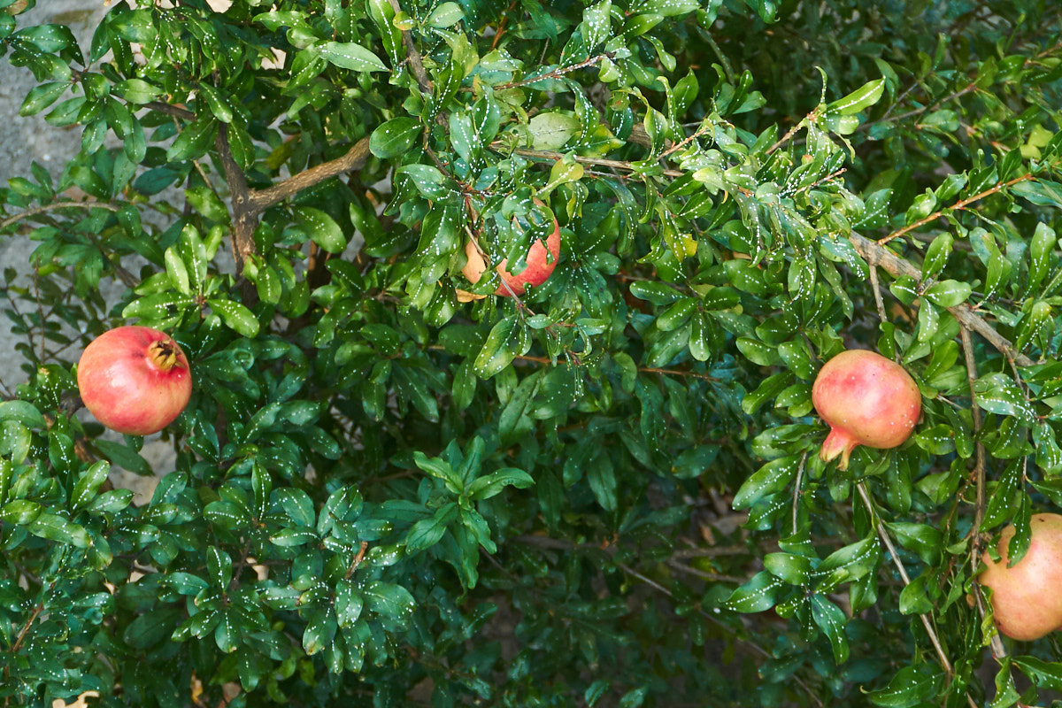 … Granatäpfeln
