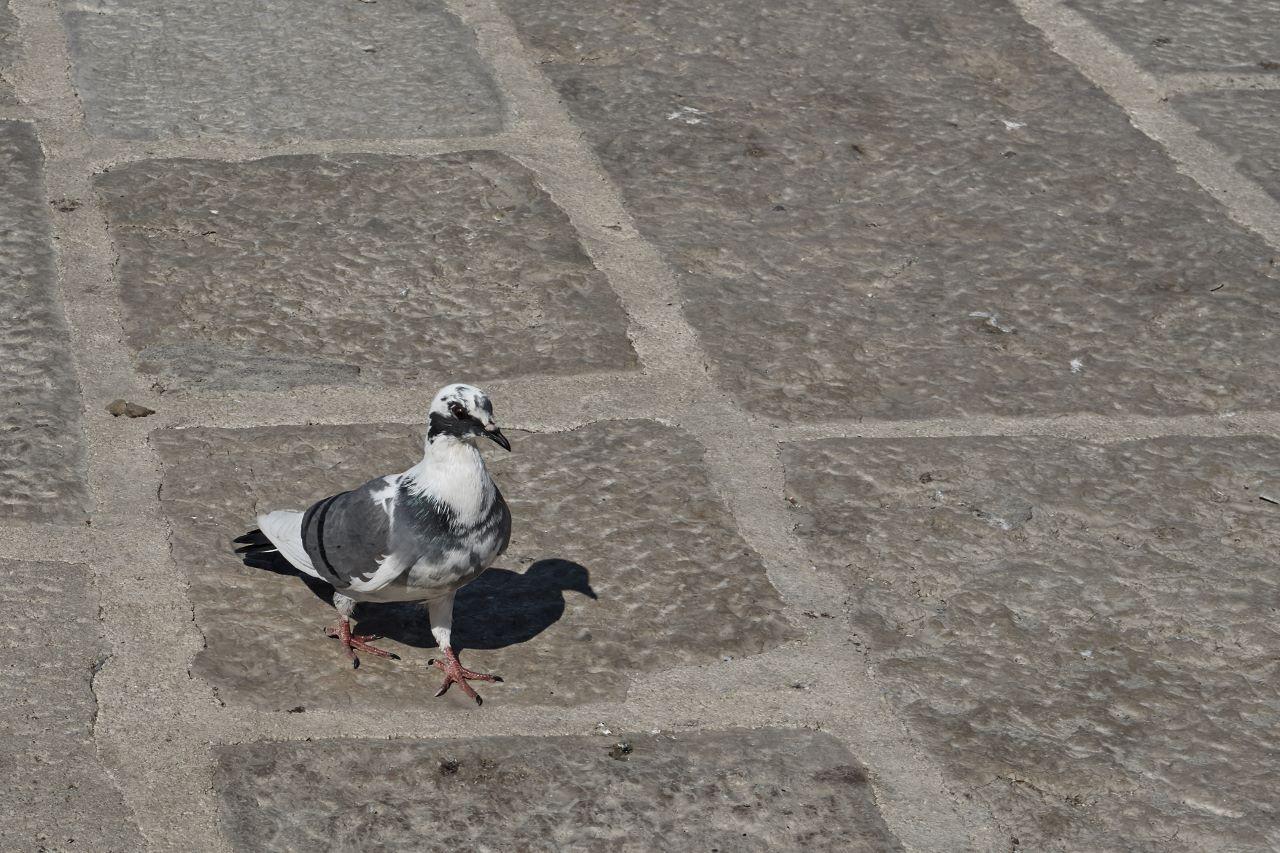 Auch in Rovinj fehlt es nicht an Tauben.