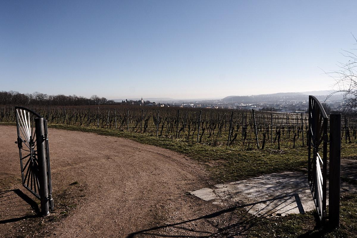 Blick über die Weinberge Richtung Meißen