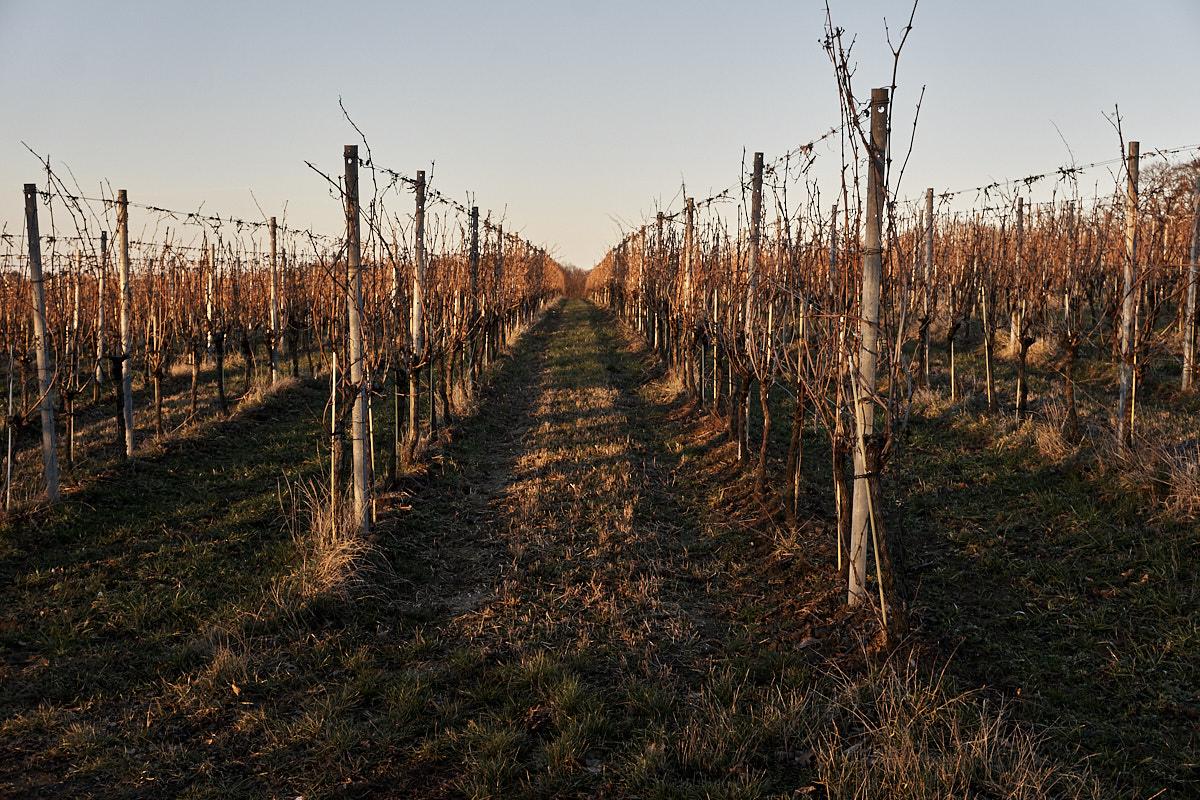 Schnurgerade reihen sich die sich noch im Winterschlaf befindlichen Weinreben aneinander.