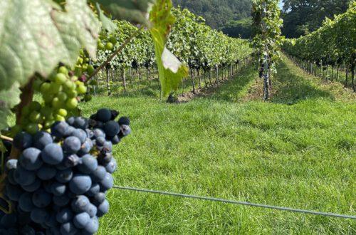 Blaue Weintrauben direkt am Weinwanderweg